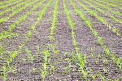Pole uprawne Małe kukurudz flance, pole krajobraz Luźna ziemia i badyle kukurudza na polu Fotografia Stock