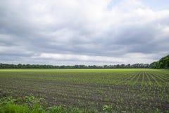 Pole uprawne Małe kukurudz flance, pole krajobraz Chmurny niebo i badyle kukurudza na polu Obrazy Royalty Free