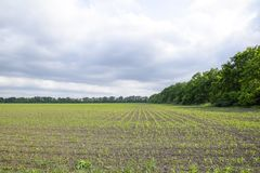 Pole uprawne Małe kukurudz flance, pole krajobraz Chmurny niebo i badyle kukurudza na polu Zdjęcia Stock