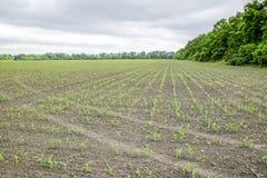 Pole uprawne Małe kukurudz flance, pole krajobraz Chmurny niebo i badyle kukurudza na polu Fotografia Stock