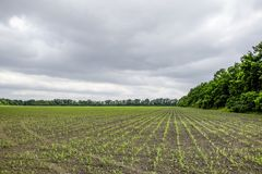Pole uprawne Małe kukurudz flance, pole krajobraz Chmurny niebo i badyle kukurudza na polu Fotografia Royalty Free