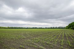 Pole uprawne Małe kukurudz flance, pole krajobraz Chmurny niebo i badyle kukurudza na polu Zdjęcie Royalty Free