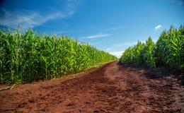 Pole uprawne plantaci roślina Zdjęcia Stock