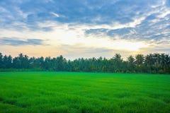 Pole uprawne w ranku przy Thailand, Piękny zielony pole uprawne z zmierzchu nieba tłem Obraz Stock