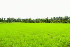 Pole uprawne w ranku przy Thailand, Piękny zielony pole uprawne z zmierzchu nieba tłem Fotografia Royalty Free