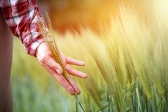 Pole uprawne w wio?nie: ?redniorolna r?ka dotyka zielonych pszenicznych ucho sunshine obraz royalty free