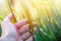 Pole uprawne w wio?nie: ?redniorolna r?ka dotyka zielonych pszenicznych ucho sunshine obrazy royalty free