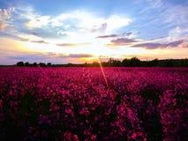 Pole w różowych kwiatach sunset wiatr pozyskiwania burzy Fotografia Royalty Free