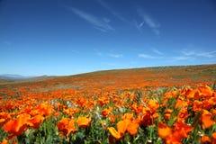 Pole wibrujący pomarańczowi Kalifornia maczka wildflowers fotografia royalty free