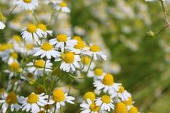 Pole z chamomile zasadza Matricaria chamomilla w kwiacie Zdjęcia Royalty Free