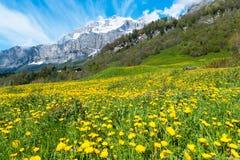 Pole z dandelions zdjęcie royalty free