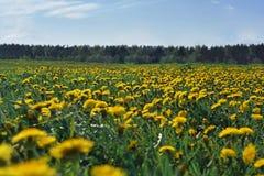 Pole z dandelions pierwszy wiosenny kwiat Obraz Royalty Free