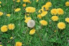 Pole z dandelions pierwszy wiosenny kwiat Zdjęcie Stock