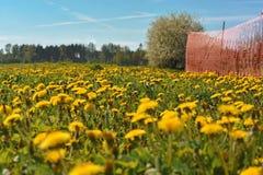 Pole z dandelions pierwszy wiosenny kwiat Obrazy Stock