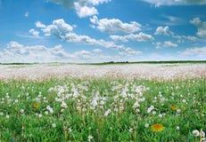 Pole z dandelions Tło Fotografia Royalty Free
