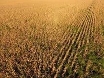 Pole z dojrzałą kukurudzą Suszy badyle kukurudza Widok pole uprawne od above Kukurydzana plantacja, dojrzali cobs, przygotowywają Obrazy Royalty Free