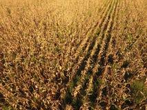 Pole z dojrzałą kukurudzą Suszy badyle kukurudza Widok pole uprawne od above Kukurydzana plantacja, dojrzali cobs, przygotowywają Zdjęcia Stock