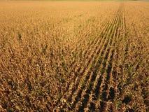 Pole z dojrzałą kukurudzą Suszy badyle kukurudza Widok pole uprawne od above Kukurydzana plantacja, dojrzali cobs, przygotowywają Obraz Stock