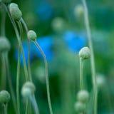 Pole z głowami więdnął anemony tło kwiecisty abstrakcyjne Makro- Obraz Stock