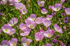 Pole z kolorowymi Fiołkowymi Wildflowers w Hagerman rezerwacie dzikiej przyrody, Teksas obrazy stock