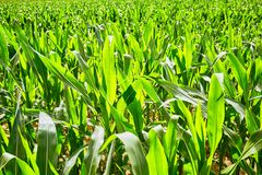 Pole z kukurudzą Zdjęcie Stock