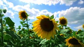 Pole z kwitnącymi słonecznikami zbiory