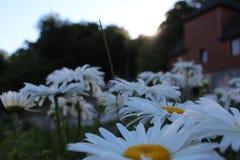 Pole z kwitnącymi stokrotkami fotografia royalty free
