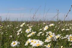 Pole z kwitnącymi stokrotkami fotografia stock