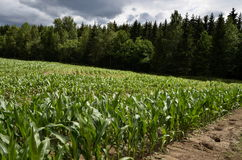 Pole z młodą kukurudzą Fotografia Royalty Free