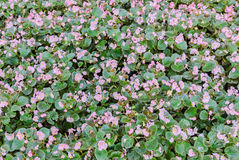 Pole z małymi begoni menchii kwiatami, ogrodowy krzak, rodzinny Begoniaceae, zakończenie up Fotografia Royalty Free