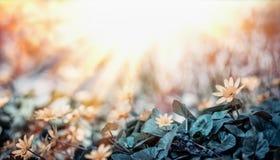 Pole z małymi kolorów żółtych kwiatami i słońce promieniami plenerowymi, Zdjęcia Stock