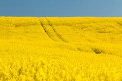 Pole z oilseed gwałtem Zdjęcia Royalty Free