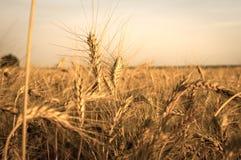 Pole złoty pszeniczny spica na tle zmierzch Zdjęcia Stock