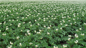 Pole z potatoplants Zdjęcia Royalty Free