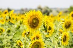 Pole z słonecznikami Zdjęcie Stock