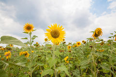 Pole z słonecznikami Obraz Stock