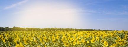Pole z słonecznikami i niebieskie niebo sztandarem Obrazy Stock