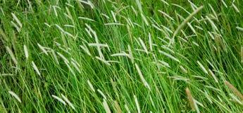 Pole z wysoką tymotki trawą Zdjęcie Royalty Free