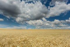 Pole z zboże roślinami i cumulus chmurami Zdjęcie Stock