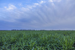Pole zakrywający z rosą zielona trawa Obraz Stock