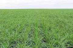 Pole zakrywający z zieloną trawą, młoda pszeniczna trawa horyzont Zdjęcie Stock