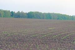 Pole zasadzający z kukurudzą Fotografia Royalty Free