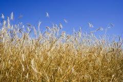 pole zbóż Fotografia Royalty Free