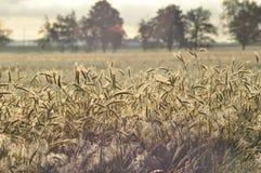 pole ziarna Dojrzenie ucho Zbiera i groszkuje w mąkę farms obraz stock