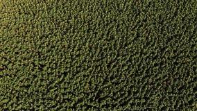 Pole zieleni słoneczniki odpowiada teksturę, antena zbiory