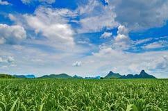 Pole zielona trawa Zdjęcie Royalty Free