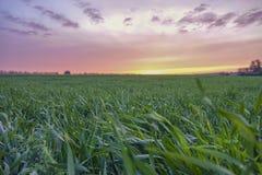 Pole zielona trawa przy zmierzchem Zdjęcie Stock