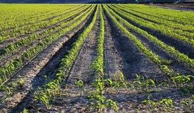 Pole Zielone uprawy Obrazy Stock