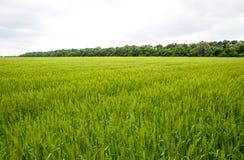 pole zielony niewyrobiony jęczmień Spikelets jęczmień Pole jest jęczmieniem, Wiejski krajobraz Obrazy Royalty Free