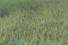 Pole zielony wheatfield Zdjęcia Stock